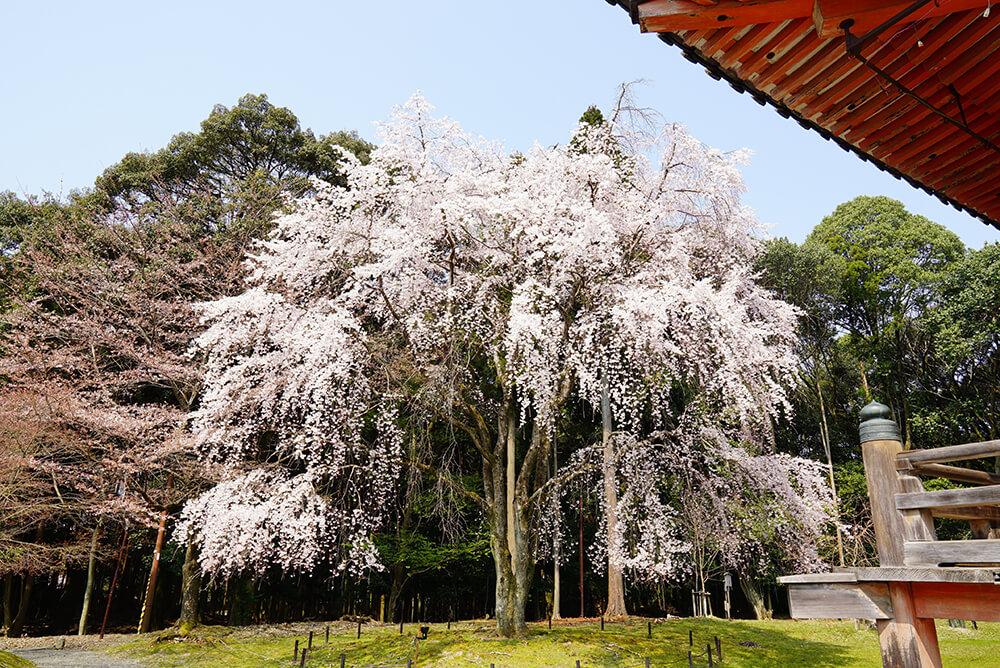 春はなんといっても桜!素晴らしいです!