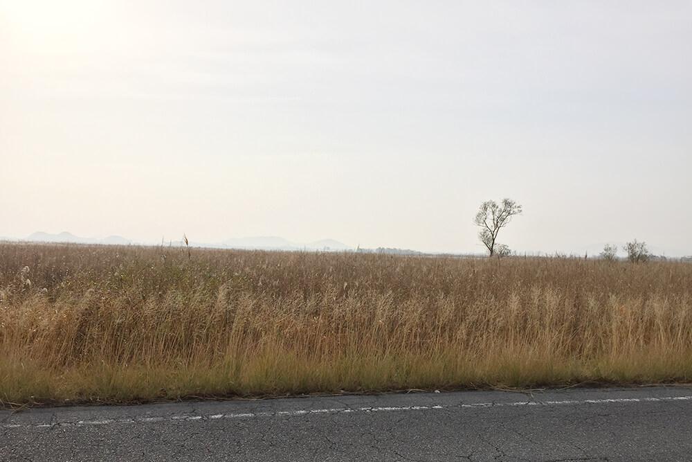 一面に広がるヨシ原