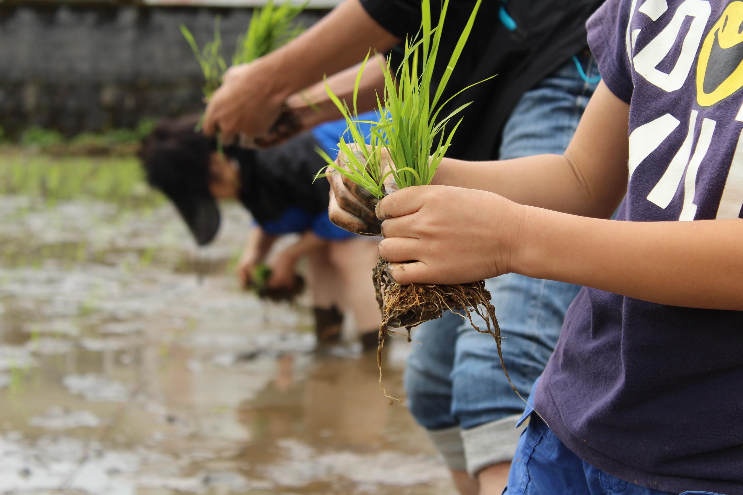 小さい頃田植えをしたことあるのですが、この田んぼに素足の感覚がタマラナイですよね~